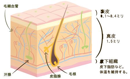 皮膚の構造(表皮、真皮、皮下組織)