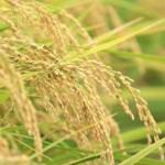 お米から生まれた保湿剤(スキンケアクリーム)