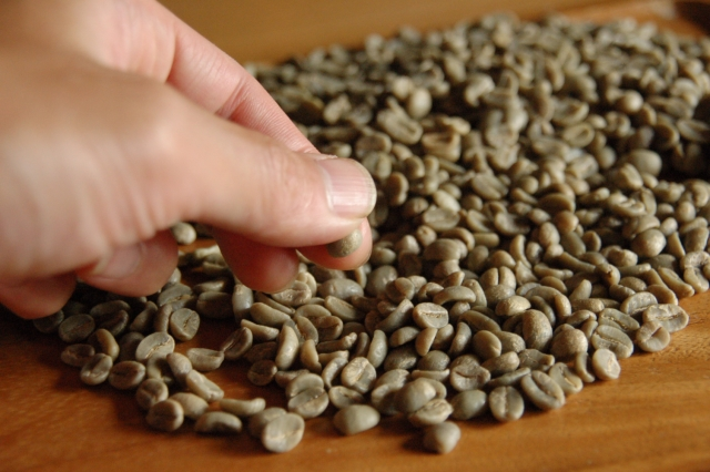 コーヒー豆のピッキング