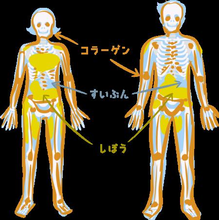 人体における、水とコラーゲンと脂質の構成比