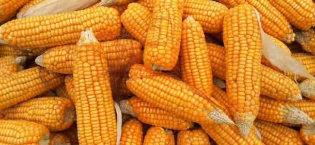 遺伝子組み換えトウモロコシ